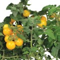 Golden Harvest Cherry Tomato Seed Kit image 1